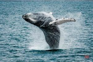 Whale watching, Shore Excursion Akureyri Iceland