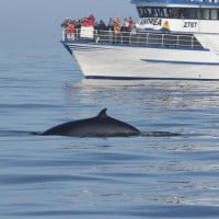 Minke Whale in Cruise day tour