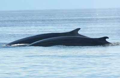 Whale Watching, Shore excursion, Day tour, Reykjavik, Iceland