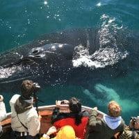 Humpback, whale watching, Akureyri, dalvik, cruise ships, shore excursion, Iceland