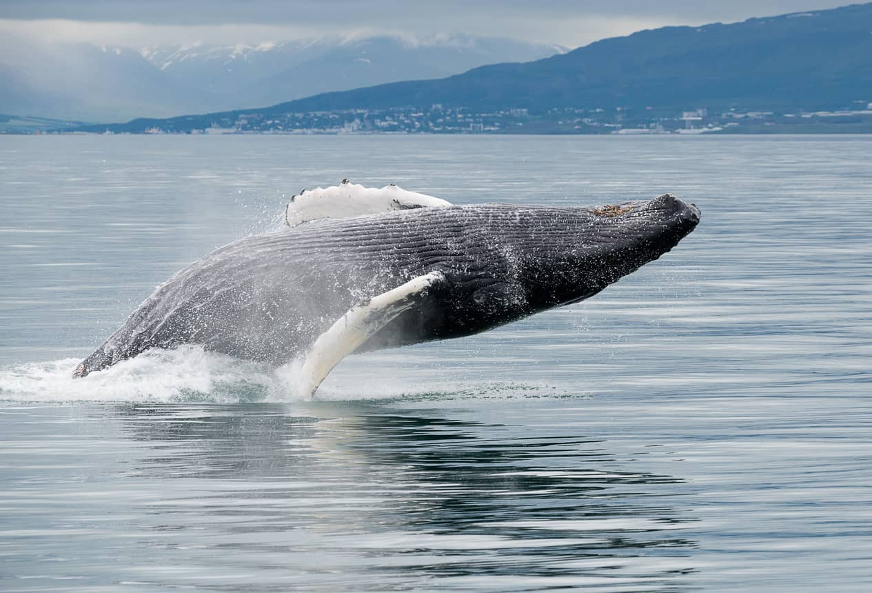 iceland whale watching cruise shore excursions and day tours akureyri